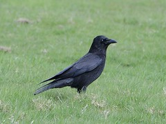 Common Raven (Corvus Corax) at Crook Hall in Durham (John Wolters) Tags: durham raaf corvuscorax commonraven