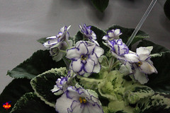 Exhibition of African Violets & other Gesneriads - Winter Ice C20130420 177 (fotoproze) Tags: flowers flores fleurs blumen fiori  blommor bungabunga bloemen blomster kwiaty hoa  flors africanviolets loreak blm iek saintpaulia blodau   flori  gesneriads kvtiny   virgok kvety kukat cvijee  cvetje    blthanna