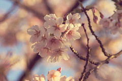 Cherry Blossom Tree (mcmahon545) Tags: pink blue tree cherry scotland spring skies blossom north irvine ayrshire pinkblossom
