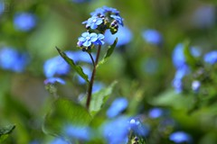 Myosotis - Forget-Me-Not (DigiJack Photography) Tags: flowers blue france flower macro green nature closeup photography spring nikon dof lyon bokeh forgetmenot printemps myosotis nikond3200 d3200 digijack