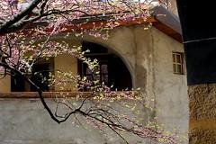 arbre de jude (overthemoon) Tags: pink flowers houses windows tree leaves stone schweiz switzerland spring arch village suisse blossom branches late svizzera vaud romandie imagepoetry judastree saintsaphorin cercissiliquastrum arbredejude imageposie 1j1t