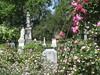 IMG_0568 (ceztom) Tags: city trip roses plant cemetery rose by garden square with native cemetary hamilton visit betty historic rivers april sacramento 20 davis speech 19 rosegarden cezanne perennials opengardens kathe cez 1000broadway april20 2013 930–200