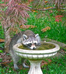 Thirsty raccoon (readerwalker) Tags: yards wildlife urbanwildlife raccoon tallahasseeflorida birdbaths citywildlife sx110is canonpowershotsx110is
