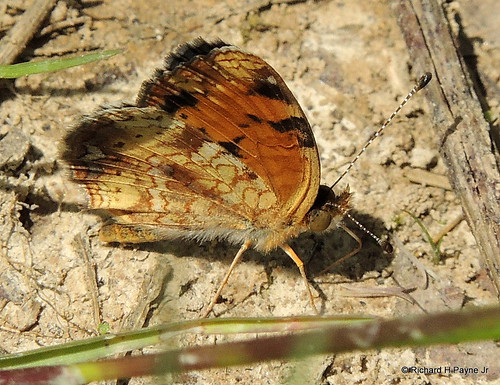 Female Pearl Crescent_1160