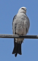 CAB015248a (jerryoldenettel) Tags: kite bird hawk raptor nm falconiformes mississippikite accipitridae ictiniamississippiensis 2013 accipitriformes ictinia leaco