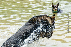 Limit Swims 2013-05-21-17 (falon_167) Tags: dog shepherd australian german pan limit gsd germanshepherddog kelpie australiankelpie