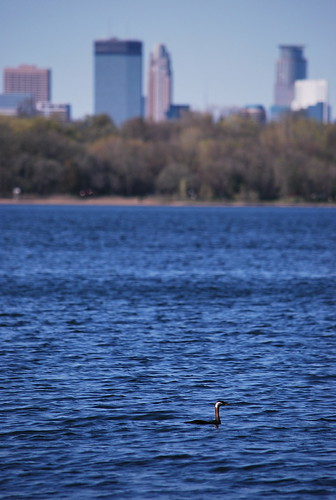 Red-necked Grebe Before Downtown