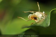 Exoesqueleto (angela.macario) Tags: brazil planta nature brasil fauna natureza inseto bicho mato goiânia goiás insetos bichinho ângela macário exoesqueleto