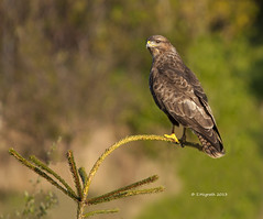 Common Buzzard (Buteo buteo) (Glesgastef) Tags: uk bird nature port canon hawk glasgow wildlife sigma raptor prey buzzard birdofprey