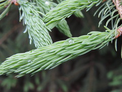 Water Drops on the Fresh Pine Shoots (rabidscottsman) Tags: