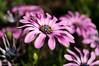 Very Daisy (David S Wilson) Tags: uk flowers england ely fens lightroom flowersplants 2013 sonysel30mmf35macrolens sonynex6