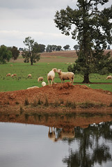 DSC_0599_2_D (renrut01) Tags: trees reflection water grass sheep newsouthwales lockhart