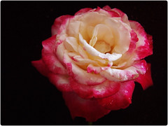 Delighted! (MissyPenny) Tags: red white flower rose garden delight doubledelightrose bristolpennsylvania kodakz990 pdlaich missypenny