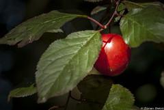 Wild plum (Zoran Babich) Tags: plant macro plum croatia zagreb hr plums cityofzagreb