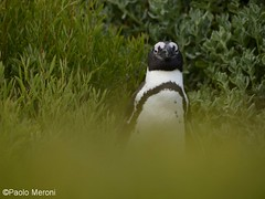 Jackass penguin (Spheniscus demersus)  Www.paolomeroni.com (paolo_meroni (www.paolomeroni.com)) Tags: wild green birds southafrica wildlife ngc aves wildschwein africanpenguin sudafrica spheniscusdemersus animalportrait rspb jackasspenguin iucn wildlifephotography pinguinoafricano nikonflickraward pinguinodelcapo paolomeroni wwwpaolomeronicom