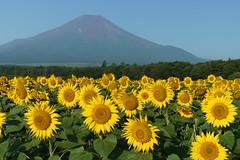 Sunflowers (DSC07552_LR) (Fumitaket) Tags:   jp sunflowers fuji mountain