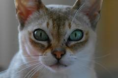 Kye (Duncan.B) Tags: singapura cat pets kye samsung samsungnx nx10