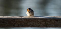 Welcome swallow (AWLancaster) Tags: birding sigma bigma birdingphotography sonycameras perchedinthesun feathersinthesun photowalking beautifulbird bythelake wildlife welcomeswallow sonyphotography swallow