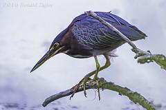 Green Heron IMG_3687 (ronzigler) Tags: green heron bird birdwatcher avian nature sigma 150600mm canon 60d