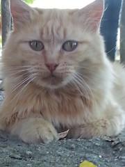 Miaooooo (Soniaphoto's) Tags: natura animali animal cat cats