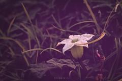 Rocio de la maana (Diego Serra) Tags: rocio amancer lluvia rain water flower flores