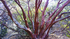 Manzanita (Davor Desancic) Tags: morganterritoryregionalpreserve morgan territory regional preserve california ebparksok livermore lgg4