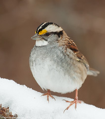White-throated sparrow (v4vodka) Tags: bird birding birdwatching nature animal wildlife long island new york sparrow passerine wrobel wrobelek zonotrichia albicollis songbird pasowka bialogardla 2012 sylwester longisland newyork whitethroatedsparrow zonotrichiaalbicollis pasowkabialogardla 2012sylwester
