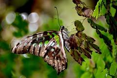 Green Malachite Butterfly (bmasdeu) Tags: camouflage green brown butterfly malachite exotic wings tropical garden bokeh
