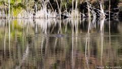 _SLN9786 (sonja.newcombe) Tags: tid tidbinbilla australia canberra wildlife platypus nikon d7000 sigmalens