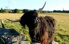 Itching for a scratch (mootzie) Tags: wildlife scotlandscottish black handsome hairy highland cow horns field stone wall grass green lichen barbed wire