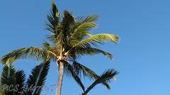 Cocotiers du Barachois... (PiCS_M97PaT) Tags: cocotier coconut cocotiers coconuts stdenis saintdenis lareunion reunion reuniontourisme reunionisland gotoreunion ileintense ilereunion iledelareunion reunionparadis nature naturephotography naturelovers ile974 island dayspic photolovers photography photographylovers photoftheday picsm97pat