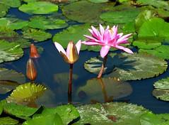 DP1U4102 (c0466art) Tags: 2016 summer season lotus field  wate rlilies cloom colorful flowers scenery landscape canon 1dx c0466art
