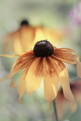 Rudbeckia pastel with extension tubes (MiFleur...Thank You for 2 Million Views) Tags: pastel flower rudbeckia niksoftware photoshopcc soft dream couleurs colors fleur extensiontubes nikon70200f28
