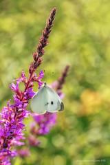 Pieris brassicae - Linnaeus, 1758 (fabrizio daminelli ) Tags: pierisbrassicae linnaeus1758 largewhite pieridae cavolaiamaggiore lepidoptera lepidottero farfalla butterflies butterfly natura nature macro wild wildlife canon tamron fabriziodaminelli