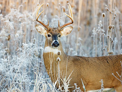 White-tailed Deer (Steve Gifford - IN) Tags: 2016 hilook proposal lens cloth steve steven gifford haubstadt indiana