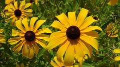 Black-eyed Susans (Martin LaBar) Tags: maine asteraceae blackeyedsusan daisy flower flowers