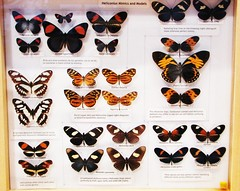 Papilionidae and their mimics --  Butterfly Collection at University of Florida 9113 (Tangled Bank) Tags: florida museum natural history butterfly butterflies moth collection tray cabinet insect lepidoptera arthropod