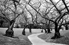 Morning walk (stephen trinder) Tags: stephentrinder stephentrinderphotography christchurch christchurchnewzealand landscape aotearoa newzealand nz monochrome blackandwhite trees winter cold walk morning