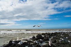 Seagulls. (Azariel01) Tags: 2016 blankenberge belgique belgie belgium mer sea zee northsea merdunord plage beach strand noordzee mouette seagull sun soleil zon nuages clouds