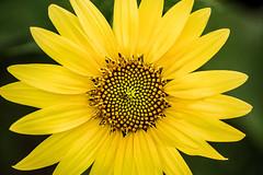 Sunflower Close-Up 3-0 F LR 7-14-16 J138 (sunspotimages) Tags: flowers flower sunflower nature