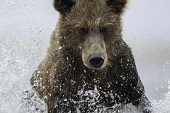 Brown Bear Fishing (www.studebakerstudio.com) Tags: brown bear alaska studebaker mammal