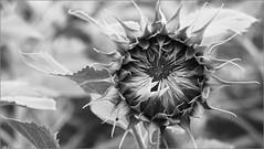 Sunflower (AstridSusann) Tags: sw bw sunflower germany outdoor