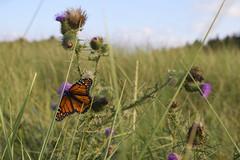 DSC_0037 (RYANinHD_87) Tags: maine hermit island campground monarch butterfly thistle dunes grass seagrass sanddunes sand sandunes dunegrass