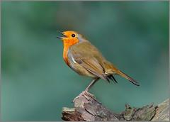 European Robin (Erithacus rubecula) (Warrener) Tags: european robin erithacusrubecula