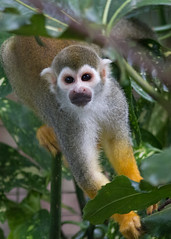 Squirrel monkey (robertcampbellphotography) Tags: animal zoo monkey squirrelmonkey paradisewildlifepark
