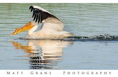 A Very Soft Landing (Matt Grans Photography) Tags: aviary bird waterfoul foul pelican white contralomapark antioch california