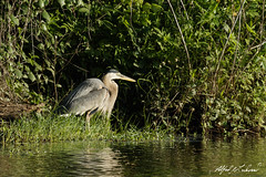 Great Blue Heron (Alfred J. Lockwood Photography) Tags: alfredjlockwood nature wildlife bird heron greatblueheron colleyvillenaturecenter spring morning texas