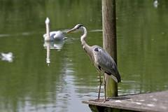 Hron cendr / grey heron (Chemose) Tags: oiseau bird hron cendr grey heron tang pond eau water parcdesoiseaux park ain villarslesdombes dombe france canon eos 7d hdr juillet july summer