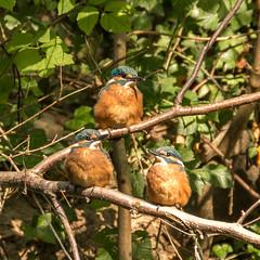 De ijsvogeljongen zijn uitgevlogen. kingfisher juv. (aj.lindeboom) Tags: