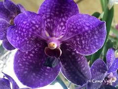 o r c h i d ( Graa Vargas ) Tags: orchid orqudea graavargas 2016graavargasallrightsreserved flower purple vanda vandacoerulea appleiphone6s iphone explore 482 sep262016